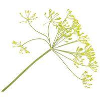 Cómo matar una planta herbácea eneldo