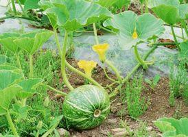 Lo que se puede plantar con sandía?