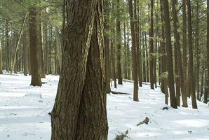Sistema radicular de los árboles de Hemlock