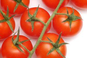 ¿Por qué crece una planta de tomate pero mira Droopy?