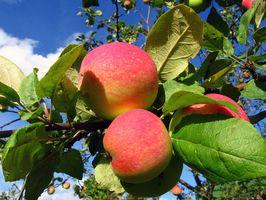 Los mejores árboles de Apple para crecer en Mississippi