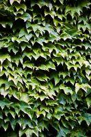 Insectos que comen hojas de la planta de la hiedra