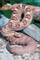 Cómo identificar a las serpientes alrededor de la casa