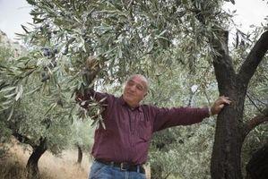 ¿Cómo hacer crecer plantas de olivo