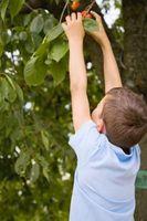 Las manchas rojas elevadas en las hojas del árbol de cerezo