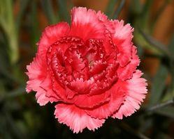 Cómo mantener una flor del clavel Alive