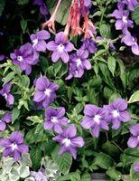 ¿Cómo crece una flor del bígaro?
