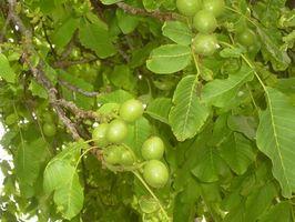 Plantas para debajo de un árbol de la nuez