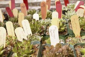 ¿Qué es la Planta de Aeonium?