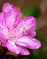 Cómo Root azaleas De las plantas establecidas