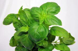¿Cómo se seque hojas de albahaca De Plantas