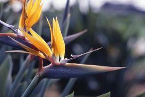 ¿Cómo hacer crecer Caesalpinia pulcherrima como una planta de la casa