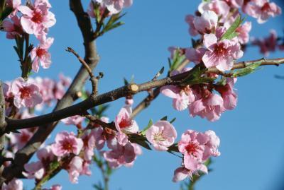Cómo proteger un árbol de melocotón Flores de las heladas