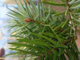 ¿Por qué los árboles de hoja perenne permanecen verdes todo el año?