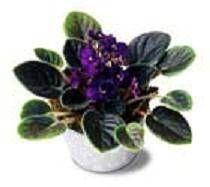 Acerca de las violetas africanas