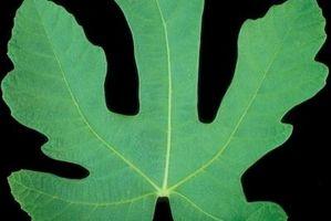 ¿Cuándo será una higuera Obtener las hojas?