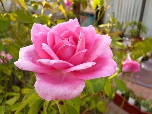 Tipos de plantas de una rosa