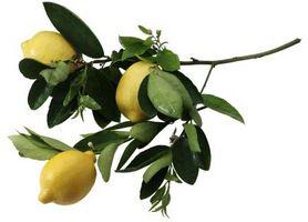 ¿Es usted podar los árboles de limón que ya cuentan con la fruta?