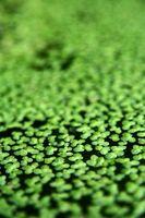 Los efectos del amoniaco en las plantas acuáticas