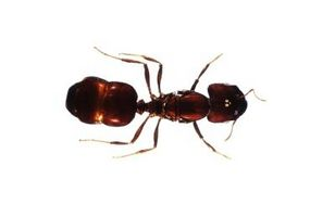 Alimentos que las hormigas no quiere comer