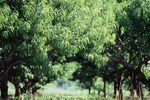 El Mejor Fungicida para Peach Leaf Curl