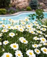 Las plantas con flores parecidas a las margaritas