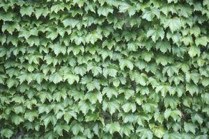 Lo que ayuda al crecimiento de la hiedra?