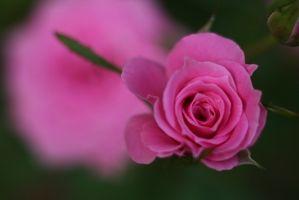 Datos acerca de los pétalos de Rose