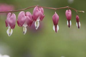 Plantas perennes resistentes que florecen durante todo el verano