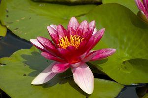 Nativo de Australia Plantas acuáticas