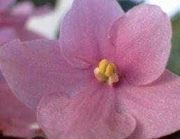 Habrá violetas africanas Crecer en una malla sombrío en el pórtico?
