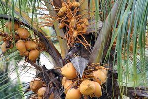 Los Tipos de la palmera del coco