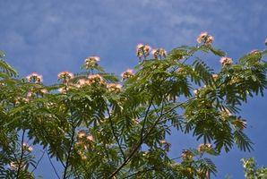 ¿Cómo puedo trasplante de Mimosa?