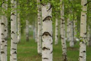 ¿Qué es una planta ornamental de abedul?
