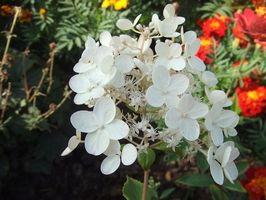 ¿Cuándo la planta de hortensia Semillas?