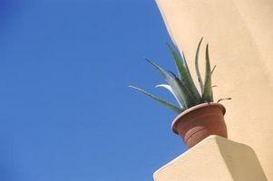 Hace Aloe Vera Prefiero luz del sol?