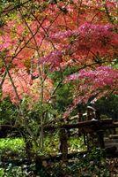 Los árboles de frente Yardas: arce japonés o de hoja perenne?