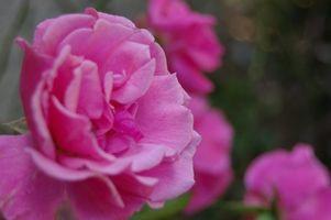 Deadheading correcta de las rosas