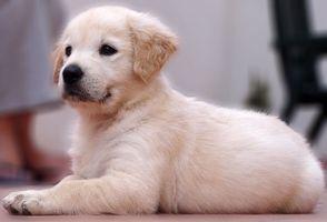 Tipo de Suelo de madera que debe obtener Si usted tiene un perro