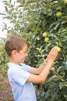 Hoja tipos de manzanas Granny Smith