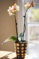 El control de la marchitez del melón de las orquídeas