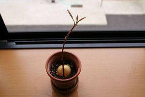 ¿A qué profundidad se planta una semilla de aguacate?