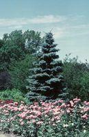 ¿Puedo podar Mi Globo Blue Spruce arbusto?