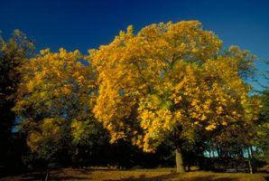 Hongo que crece en árboles de roble