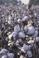 Insectos que viven sobre las plantas de algodón