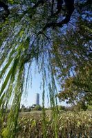 Sauce que llora y Desert Willow árboles