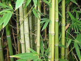 Será de bambú crecen bajo el agua?