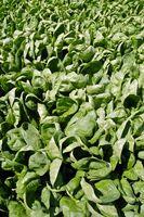 Las plantas que contienen una fuente natural de Cianuro