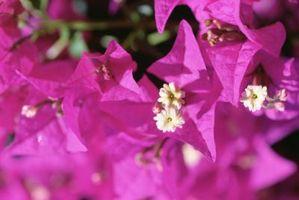 Arbustos con flores púrpuras que florecen todo el verano