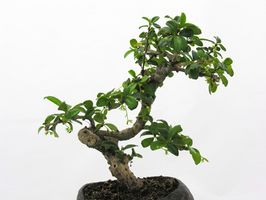 Tipos de rboles bonsai de interior - Bonsais de interior ...